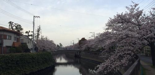 八鬼桜01.jpg