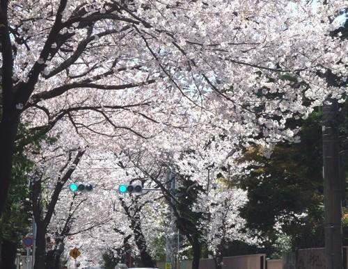 桜幻想11.JPG