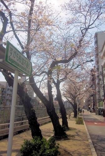 桜0413-15.jpg