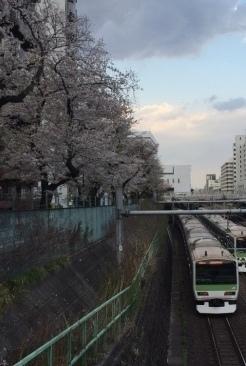 桜雄0413-02.jpg